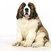 St Bernard Dog Art Print