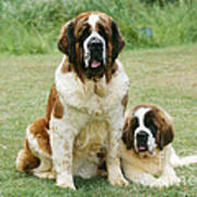 St Bernard With Puppy Art Print