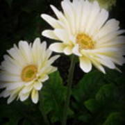 Stand By Me Gerber Daisy Art Print