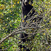 Standing Black Bear Art Print