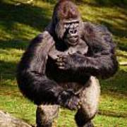 Standing Silverback Gorilla Art Print