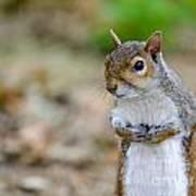 Standing Squirrel Art Print