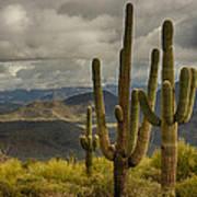 Standing Tall In The Sonoran Desert  Art Print