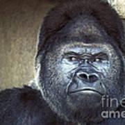 Stare-down - Gorilla Style Art Print