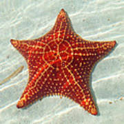 Starfish 3 Of Bottom Harbour Sound Art Print