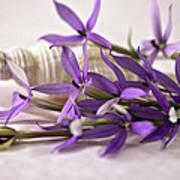 Starshine Laurentia Flowers And White Shell Art Print