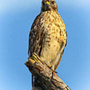 Stately Red-shouldered Hawk Art Print by Barbara Bowen