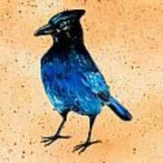 Stellar Jay Art Print