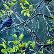Steller's Jay In A Tree Art Print