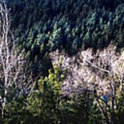 Steller's Jay Near Greyrock Mountain Colorado Art Print by Ric Soulen