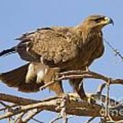 Steppe Eagle Aquila Nipalensis 2 Art Print