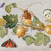 Still Life Of Branch Of Gooseberries Print by Jan Van Kessel