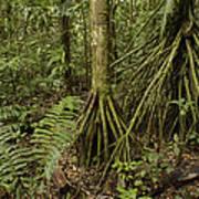 Stilt Roots In The Rainforest Ecuador Art Print