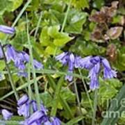 Stormy Wild Bluebell  Art Print by Tim Rice