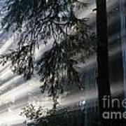 Stout Grove Redwoods With Sunrays Breaking Through Fog Art Print