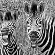 Striped Donkeys Zebra Chapman's Race Art Print