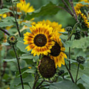 Striped Sunflower Art Print