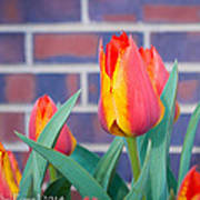 Striped Tulips Art Print