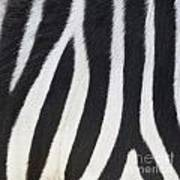 Stripes On Zebra Art Print