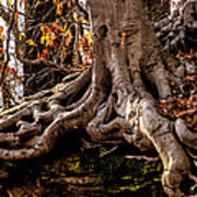 Strong Roots Print by Louis Dallara