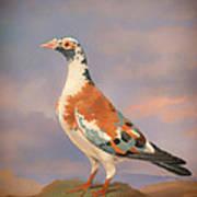 Study Of A Carrier Pigeon Art Print