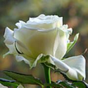 Stunning Rose Art Print