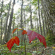 Sugar Maple In Old-growth Canadian Art Print