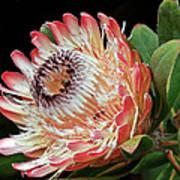 Sugarbush And Bees Art Print