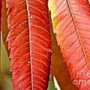Sumac Leaves Art Print