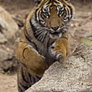 Sumatran Tiger Cub Jumping Onto Rock Art Print