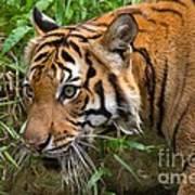 Sumatran Tiger Art Print