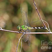 Summer Pondhawk Dragonfly Art Print