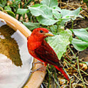 Summer Tanager Art Print