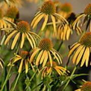 Summer Yellow Echinacea Flowers Art Print