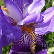 Sun Dance Iris Art Print