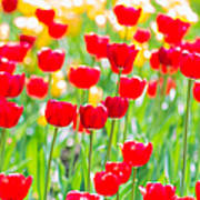 Sun Drenched Tulips - Featured 3 Art Print