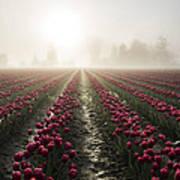 Sun In Fog And Tulips Art Print
