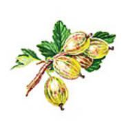 Sun Kissed Gooseberries Branch Art Print