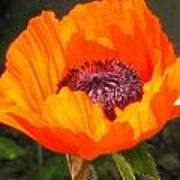 Sun-kissed Poppy Art Print