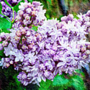 Sun Lit Lilac The Sweet Sign Of Spring Art Print