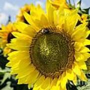 Sun On The Sunflower Art Print
