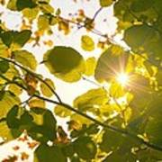 Sun Shining Through Leaves Art Print