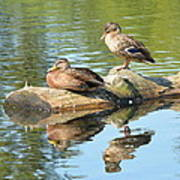 Sunbathing Mallards Reflecting Art Print