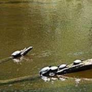 Sunbathing Turtles Art Print