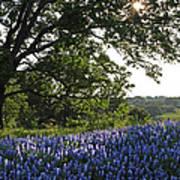 Sunburst Oak And Bluebonnets Art Print