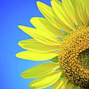 Sunflower Against Blue Sky Art Print