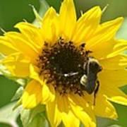 Sunflower And Bee Art Print