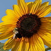 Sunflower And Bee Art Print by Victoria Sheldon