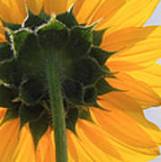 Sunflower Back Art Print