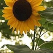 Sunflower Backlighting Art Print